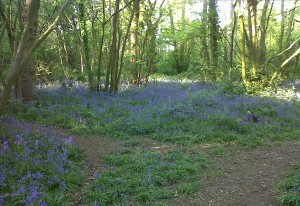 Bluebells carpet the floor at Bursted Woods on 12/5/2015. (Photo: Chris Rose)