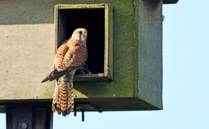 Male Kestrel at the nestbox.