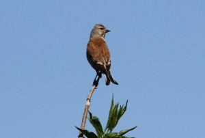 Linnet, a species that has shown a serious decline in England and Wales. (Photo: Ralph Todd)