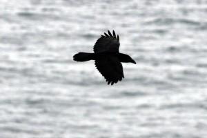 Raven, a bird now making a comeback in England (Photo: Ralph Todd)
