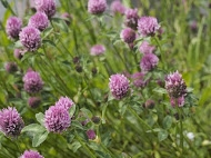 The flowerhead of Red Clover is made up of a number of individual 'pea' flowers, and is excellent for Bees. (Photo: John Tolliday)