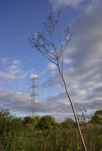One of last year's Marsh Sow-thistle flower stems still standing tall against a changeable sky. (Photo: Chris Rose)