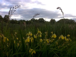 A patch of Flag Iris light up the foreground as dusk begins to set in and Carrion Crows fly across the west end of the site in the distance. (Photo: Chris Rose)