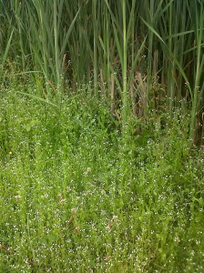 A swathe of Brookweed, along with Rushes, occupy the draw-down zone at the east end of the site, where falling water levels in summer leave permanently wet mud. This plant's success here is dependent on winter pony grazing and trampling. (Photo: Chris Rose)