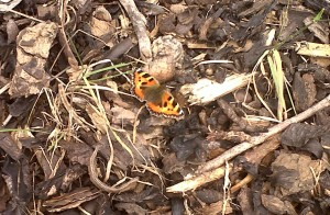 A fresh Small Tortoiseshell at Thames Road Wetland, the lower Cray area being one of the best places to see this insect which has declined significantly but now appears to be making a slow recovery. (Photo: Chris Rose)