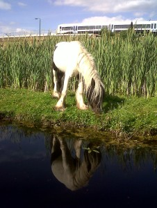 Conservation grazing in action - a pony grazes around a stand of Brookweed at Thames Road Wetland. This is a very rare plant in London that benefits from trampled mud and removal of the more vigorous competing plants around it by the local ponies. (Photo: Chris Rose)