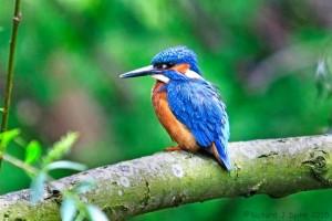 Kingfisher (Photo: Richard Spink)