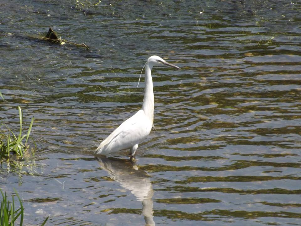 Little Egret Foots Cray Meadows - Joe Johnson