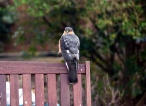 Sparrowhawk in a  Bexleyheath garden (Photo: Ralph Todd)