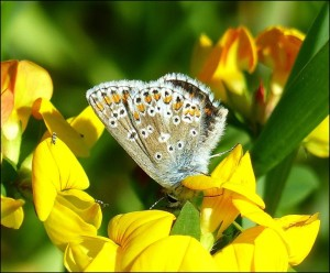 Brown Argus with wings closed. Erith Marshes at Crossness. (Photo: Mike Robinson).