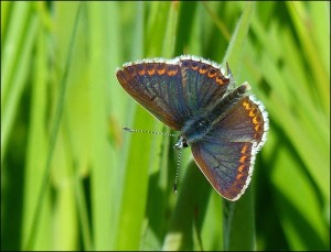 Brown Argus at Crossness, wings open. (Photo: Mike Robinson)