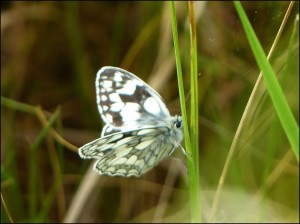 This Marbled White, found by Mike Robinson at Hollyhill open space in Erith is a first (at least in modern times) for Bexley. (Photo: Mike Robinson)