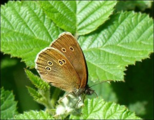 Ringlet butterfly (Aphantopus hyperantus) at Hollyhill OS. (Photo: Mike Robinson)