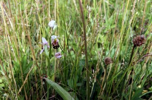 These Bee Orchids occur at one of a handful of sites in the Borough of Bexley. (Photo: Ralph Todd)