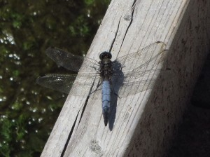 Male Black-tailed Skimmer at Crossness (Photo: Pernendu Roy)