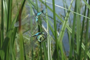 Blue-tailed damselflies in mating wheel at the Southern Marsh wader scrape. (Photo: Pernendu Roy)