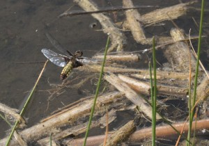 Female Broad-bodied Chaser Dragonfly in flight at Footscray Meadows. (Photo: Ralph Todd)