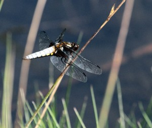 Male Broad-bodied Chaser Dragonfly. (Photo: Ralph Todd)