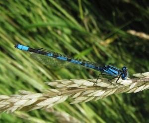 Male Common Blue Damselfly (Enallagma cyathigerum) . (Photo: Purnendu Roy)
