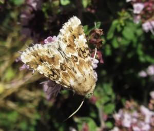 Dusky Sallow moth, a denizen of dry grasslands, at East Wickham Open Space. (Photo: Purnendu Roy)
