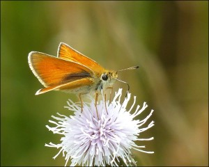 Essex Skipper feeding on Creeping Thistle flower. Note black tip to underside of antenna, the most useful feature distinguishing it from Small Skipper. (Photo: Mike Robinson)