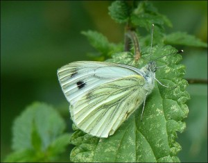 Green-veined White at Barnehurst Golf Course. (Photo: Mike Robinson)