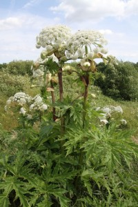 Although it's a spectacular plant, the invasive South American  Giant Hogweed is an unwelcome sight at several locations along the Cray valley, and is seen here at Upper College Farm. (Photo: Ralph Todd)