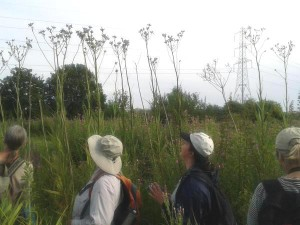 The QWAG team admire the towering Marsh Sow-thistles, a nationally scarce plant. (Photo: Paul de Sylva)