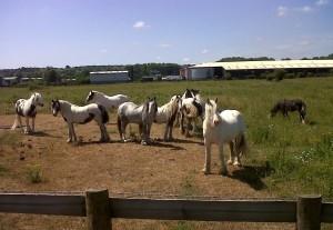 Ponies on Southern Marsh