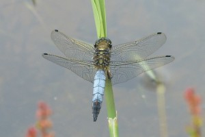 Male Black-tailed Skimmer on reed stem. (Photo: Ursula Keene)