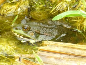 Marsh Frog in the ast ditch at ThamesRoad Wetland. This species was introducedto the UK in the mid nineteen thirties in the romney Marsh area and has spread widely since. (Photo: Paul de Zylva)