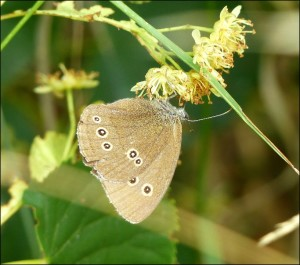 Ringlet on Lime flowers. (Photo: Mike Robinson)