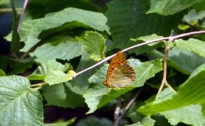 Silver-washed Fritillary at Joyden's Woods, showing the silver washing to the undersides of the wings from which the common name is derived. (Photo: Ralph Todd)