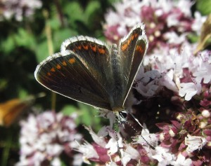 Brown Argus. The black veining extending into the white wing margin is a diagnostic feature. (Photo: Pernendu Roy)