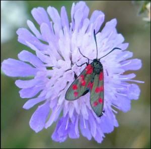 Six-spot Burnet moth on Scabious near Crossness, 11th July 2015.