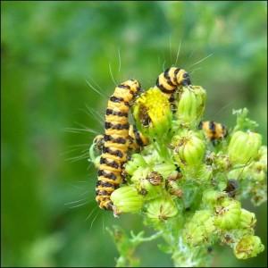 Cinnabar Moth caterpillars on their Ragwort foodplant, 9th July 2015.