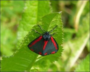 Adult Cinnabar moth, Crossness, 12th June 2015.