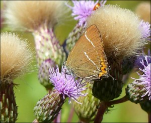 White-letter Hairstreak, showing why the scientific name includes w-album (white w). Pictured at Footscray Meadows by Mike Robinson.