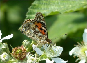 Painted Lady on Bramble flowers, Erith Marshes, 16th June 2015.