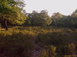 Lesnes Abbey Wood heathland back in late June 2010, before the Heather flowering season. (Photo: Chris Rose)