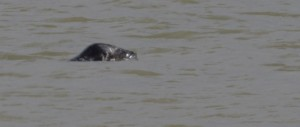 Grey Seal off Bexley at Crayfordness. (Photo: Ralph Todd).