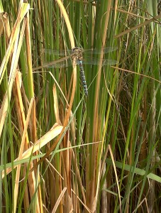 Migrant Hawker. Yellow 'golf-tee'-shaped mark at top of abdomen is diagnostic. The species looks quite a small Dragonfly when in the air, but rather more substantial when grounded. (Photo: Chris Rose).