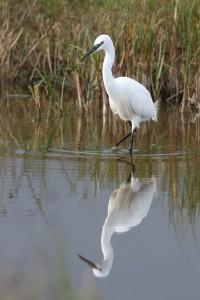 Little Egret (Photo: Ralph Todd)