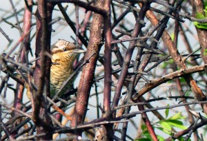 Wryneck, Crayford Marshes. September 3rd 2015. (Photo: Ralph Todd)