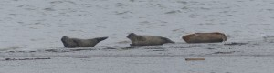 A closer view of 3 of the Common Seals. (Photo: Ralph Todd)
