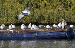 Black-headed & Common gulls & Cormorant Danson Park (photo Ralph Todd)