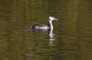 Great crested grebe Danson Park (photo Ralph Todd)