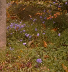 The cemetery at Christchurch, Bexleyheath, is one of four graveyards hosting Harebell in Bexley, a species now rare in London. It has also been found at Bexleyheath Golf Course and Hall Place North. (Photo: Chris Rose)