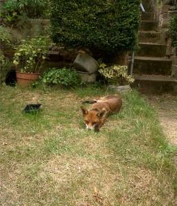 Fox asleep in a Barnehurst garden, August 2015. (Photo: Chris Rose)