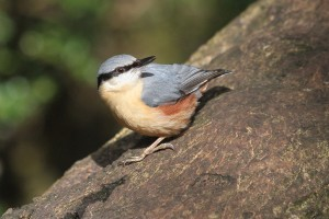 Nuthatch (photo Ralph Todd)